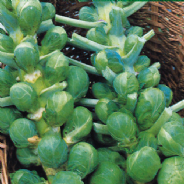 Brussels Sprout Bedford Darkmar 21 - Appx 500 seeds